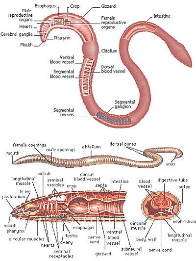 earthworm anatomy - photo #12